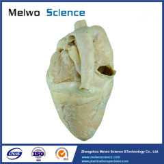 Medical heart of cow plastinated specimen