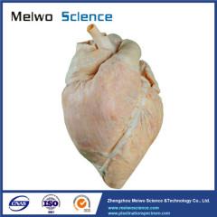 Heart blood vessel of cow plastinated specimen