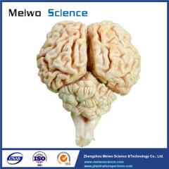 Brain of sheep plastinated specimen