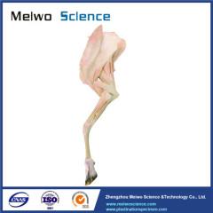 Anterior limb muscle of sheep plastinated specimen