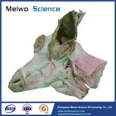 Superficial muscle of sheep head and neck plastinated specimen