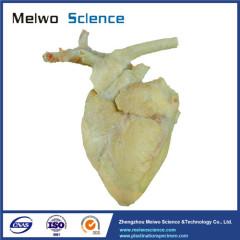 Sheep cardiovascular plastinated specimen