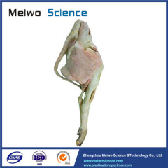 The muscle of pig hind leg plastinated specimen