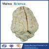 Pig brain plastinated specimen