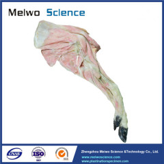 Anterior limb vessels and nerves of pig plastinated specimen