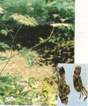 Angelica Extract Powder