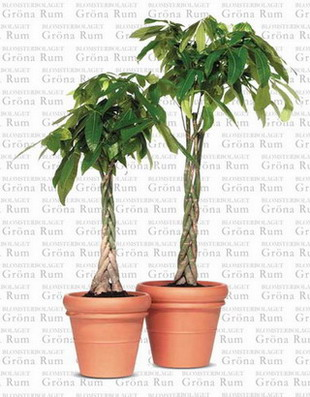 Potted plant: Pachira macrocarpa (Money Tree) 02 manufacturer from on chinese perfume plant, coin plant, chinese dollar plant, chinese lucky plants, chinese people plant, chinese fringe plant, chinese coin tree, chinese plants and trees, chinese palm plant, chinese bamboo plant, chinese bamboo tree, chinese new year good luck plant, chinese house plants, chinese jasmine plant, chinese dragon plant, calathea ornata plant, chinese good luck money plant, chinese fern plant, chinese good luck tree, lucky money plant,