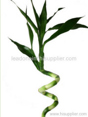 spiral lucky bamboo with leaf