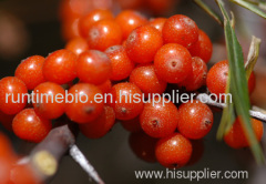 Sea Buckthorn P.E.
