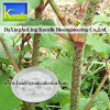Giant Knotweed Extract(Resveratrol50%,98%)