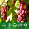 grape seed extract OPC