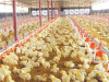 Poultry Farm Equipment Full Automatic Poultry Feeding System