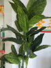 OEM high quality Shrubs banana tree