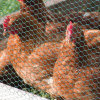 Plastic coated hexagonal chicken wire netting fence