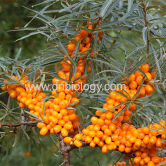 Sea buckthorn berry P.E.Sea buckthorn berry extract