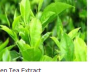 Wholesale Green Tea Extract