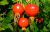 Rose Hip extract / Latin Name: Rosa davurica Pall