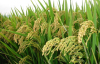 Rice protein - plant extract
