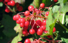 Cranberry anthocyanin / plant extract