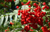 Lingonberry anthocyanin/ plant extract