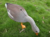 lifelike goose hunting decoys