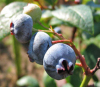 pure Bilberry Plant Extract.