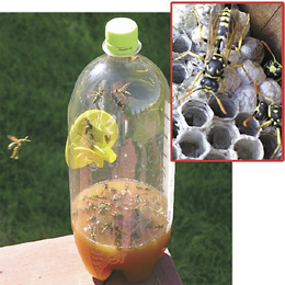 yellow jacket trap